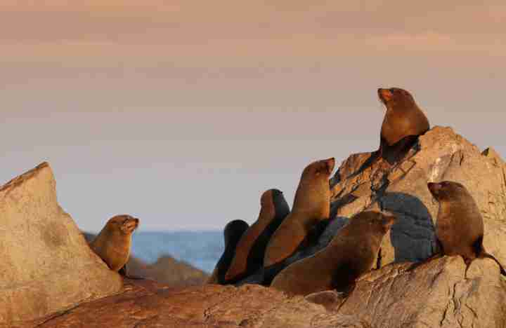 Turakirae Head Scenic Reserve Seals on rocks at sunset